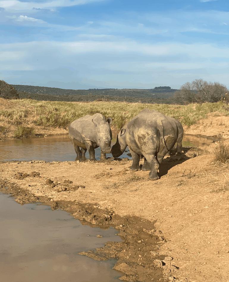 Rhino during mud bath