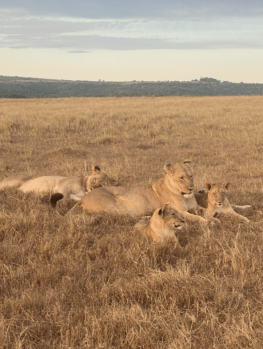 Two lioness with her two cubs